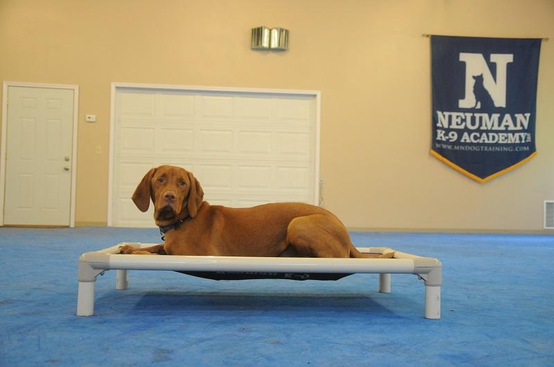 Blaze (Vizsla) - Boot Camp Level I. Dog Training