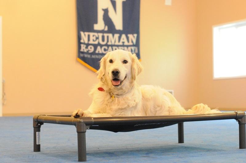 Buddy (Golden Retriever) - Boot Camp Level II. Dog Training