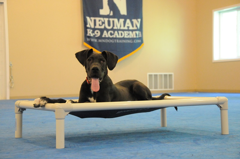 Buster (Great Dane) - Boot Camp Dog Training
