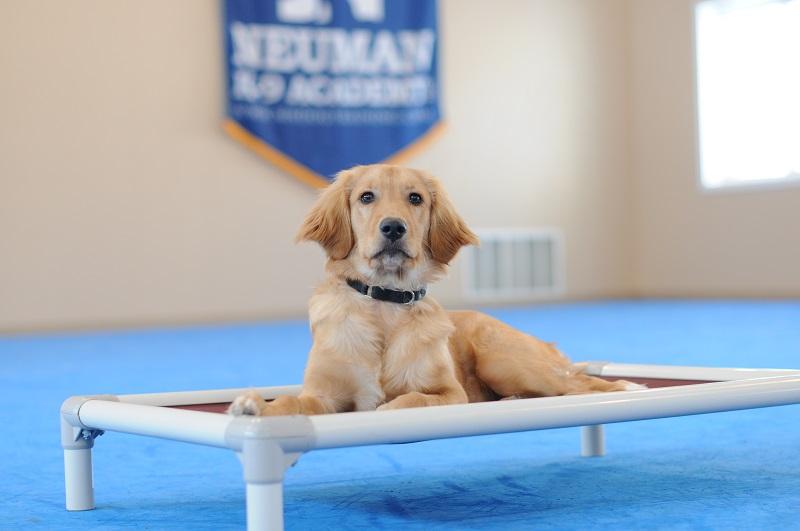 Captain (Golden Retriever) - Boot Camp Level I. Dog Training