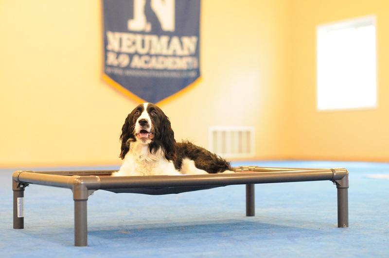 Celia (Springer Spaniel) - Boot Camp Dog Training