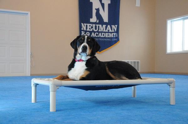 Charlotte (Greater Swiss Mountain Dog) - Boot Camp Level I. Dog Training