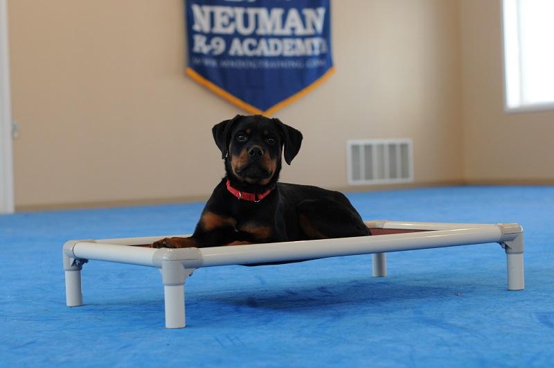 Chief (Rottweiler) - Puppy Camp Level I. Dog Training