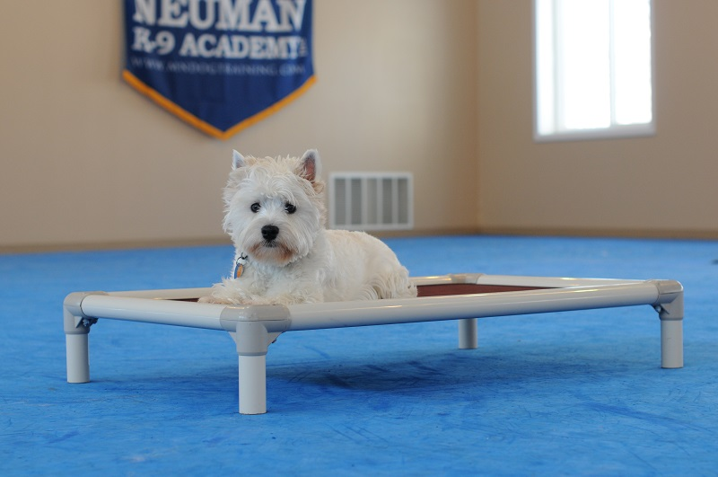 Coco (West Highland Terrier) - Boot Camp Level III. Dog Training