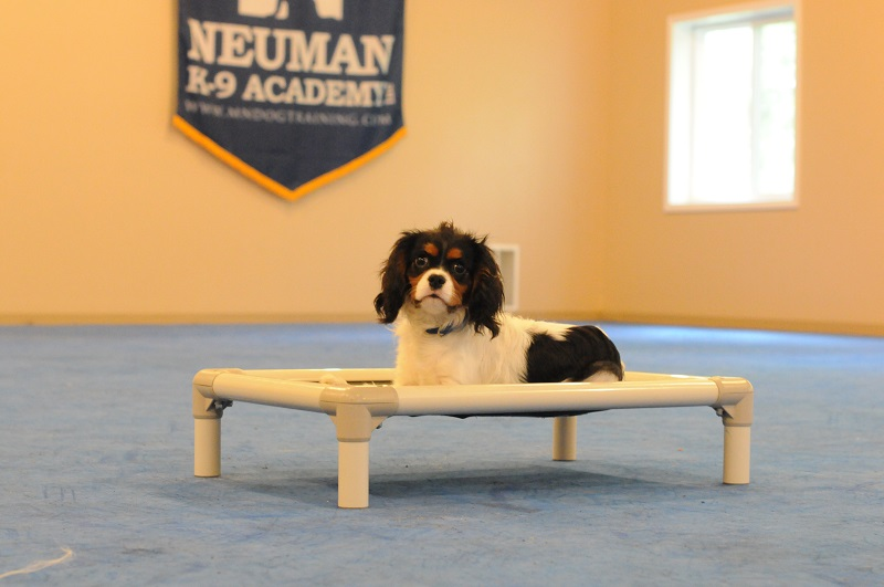 Cooper (Cavalier Charles Spaniel) - Boot Camp Level II. Dog Training