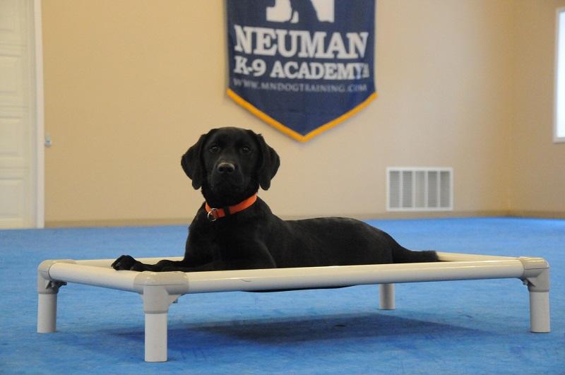 Darby (English Labrador Retriever) - Boot Camp Dog Training