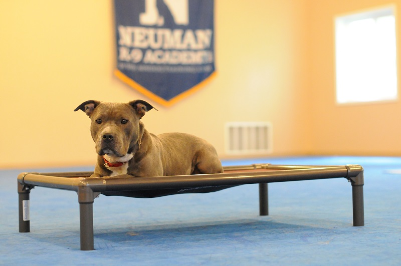 Dee (APBT) - Boot Camp Dog Training