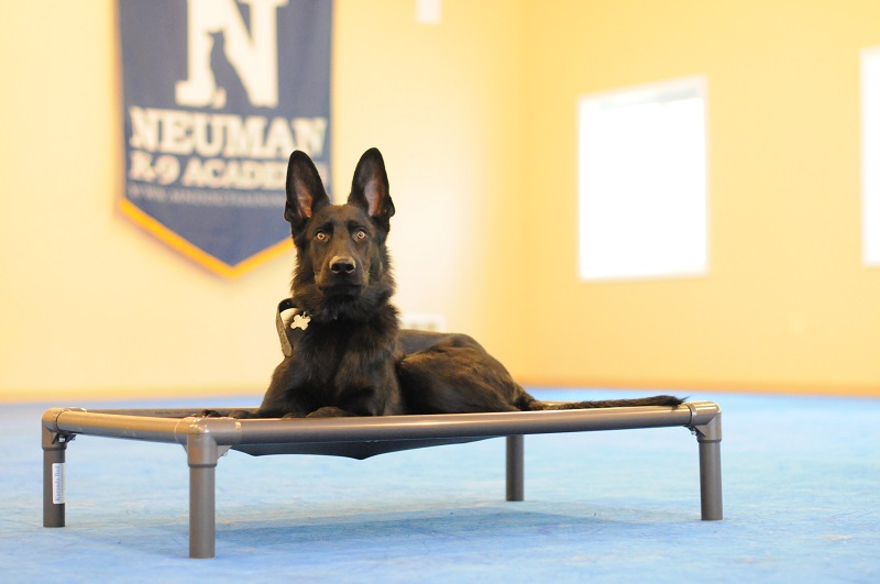 Defoe (German Shepherd Dog) - Boot Camp Dog Training