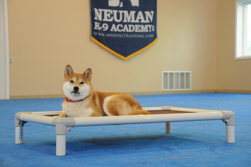 Dexter (Shiba-Inu) - Boot Camp Dog Training