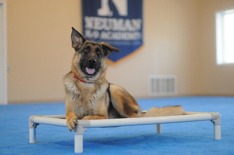 Driver (German Shepherd) - Boot Camp Level III. Dog Training