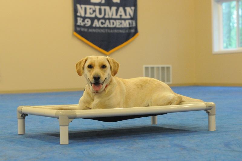 Ellie (Labrador Retriever) - Boot Camp Level II. Dog Training