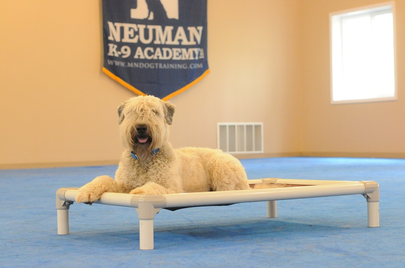 Finley (Wheaten Terrier) - Boot Camp Level II. Dog Training