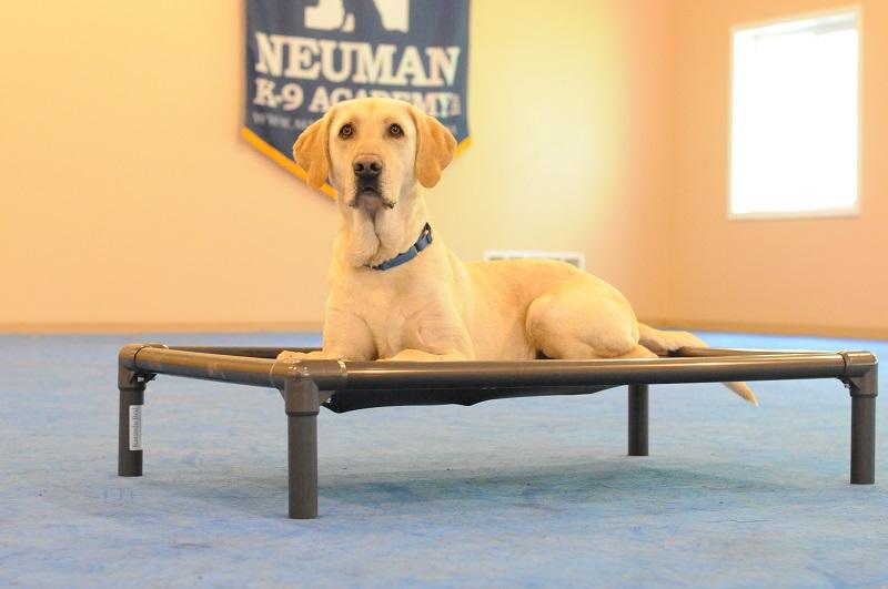 Fitger (Labrador Retriever) - Boot Camp Level II. Dog Training