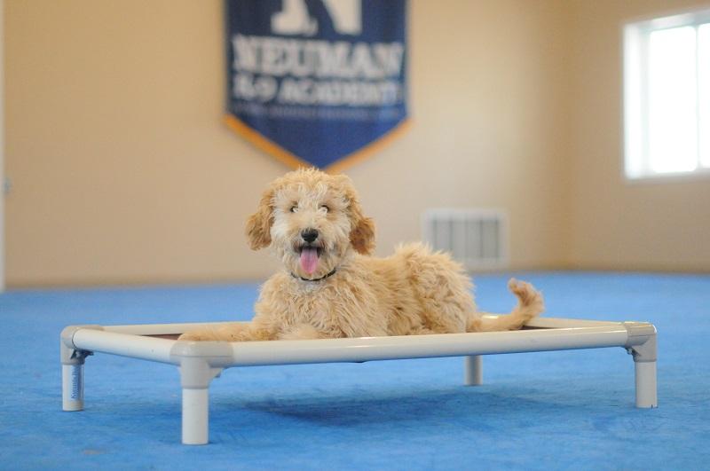 Freya (Labradoodle) - Puppy Camp Level II. Dog Training