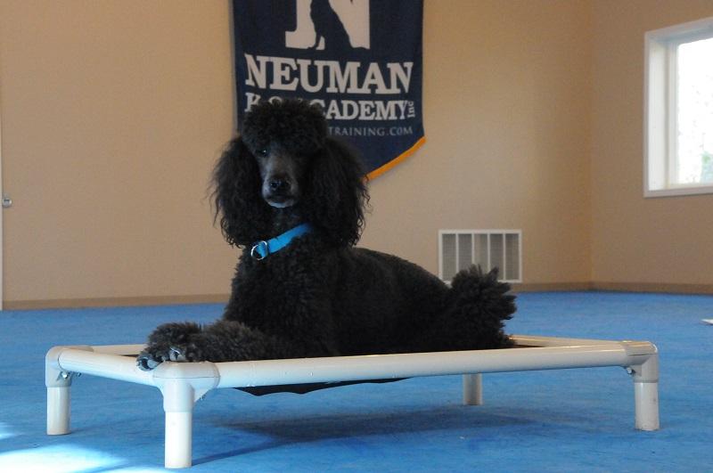 Frida (Poodle) - Boot Camp Dog Training