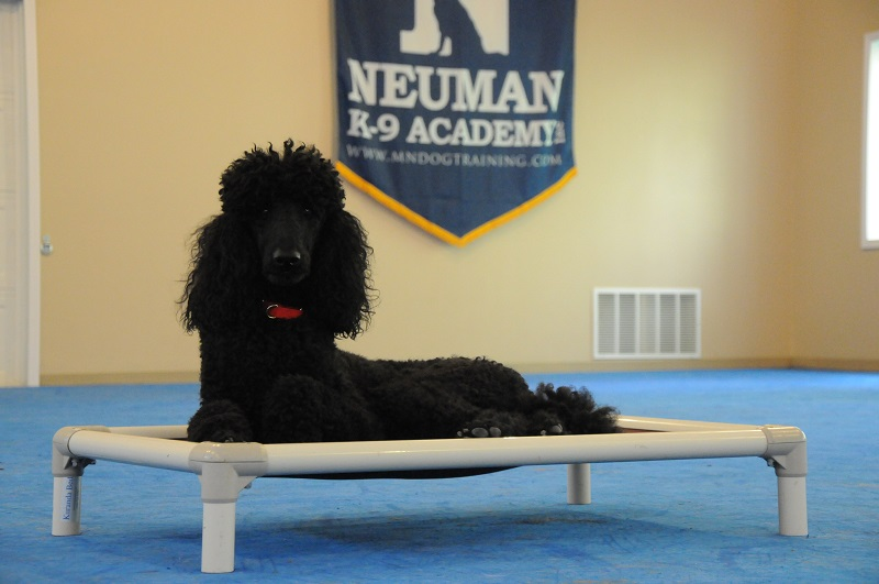 Frisco (Standard Poodle) - Boot Camp Dog Training