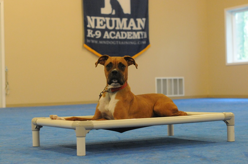 Howie (Boxer) - Boot Camp Level II. Dog Training