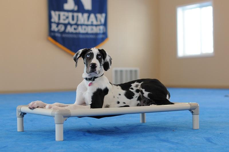 Izzy (Great Dane) - Puppy Camp Level I. Dog Training
