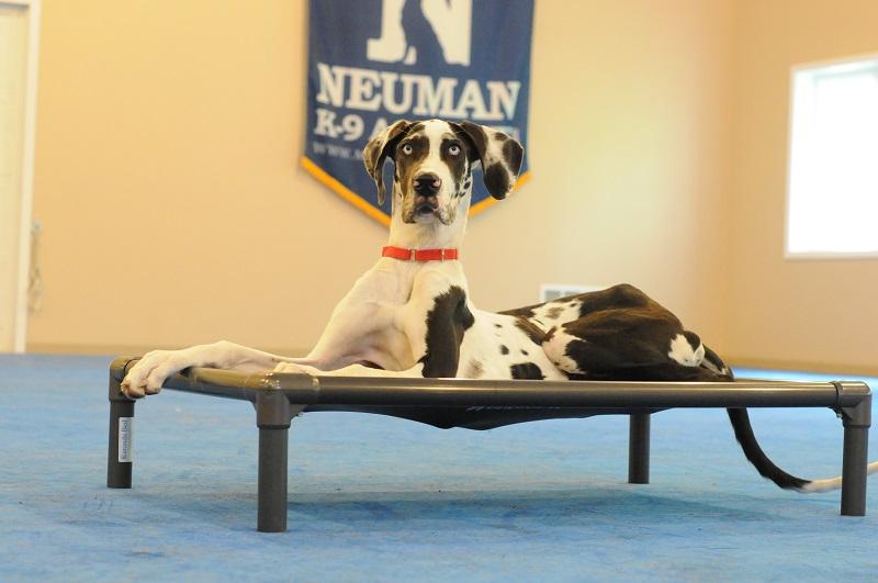 Izzy (Great Dane) - Boot Camp Level II. Dog Training