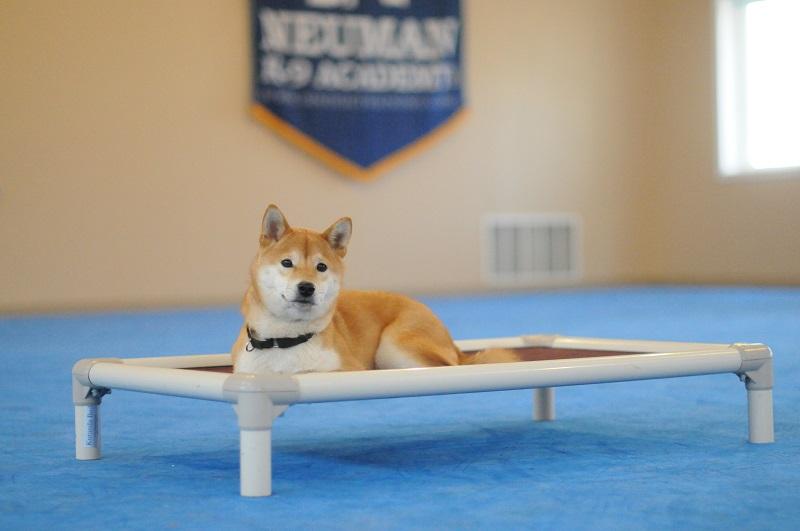Keiko (Shiba Inu) - Boot Camp Level III. Dog Training