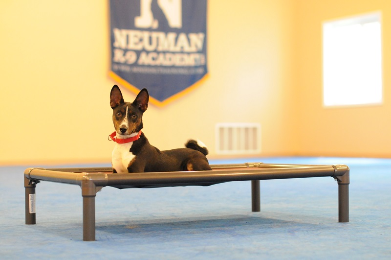 Kojo (Basenji) - Boot Camp Dog Training