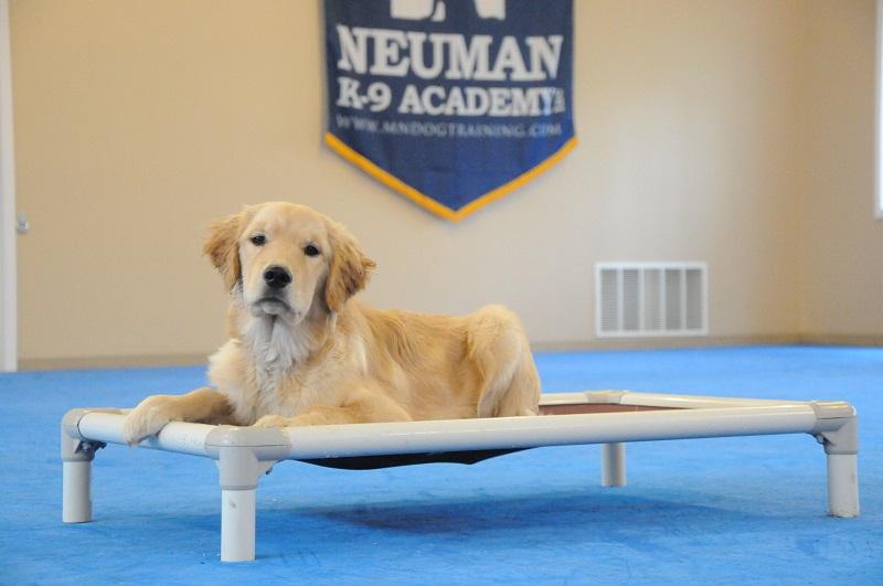 Lexie (Golden Retriever) - Boot Camp Dog Training