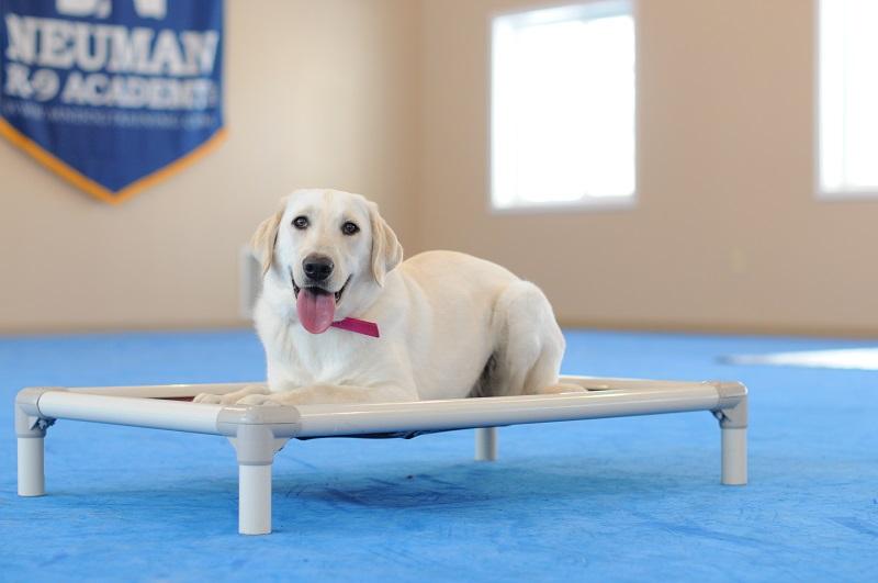 Linx (Labrador Retreiver) - Boot Camp Level I. Dog Training
