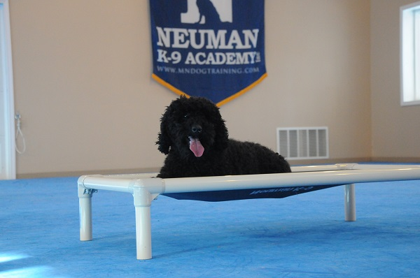 Louie (Poodle) - Boot Camp Level II. Dog Training
