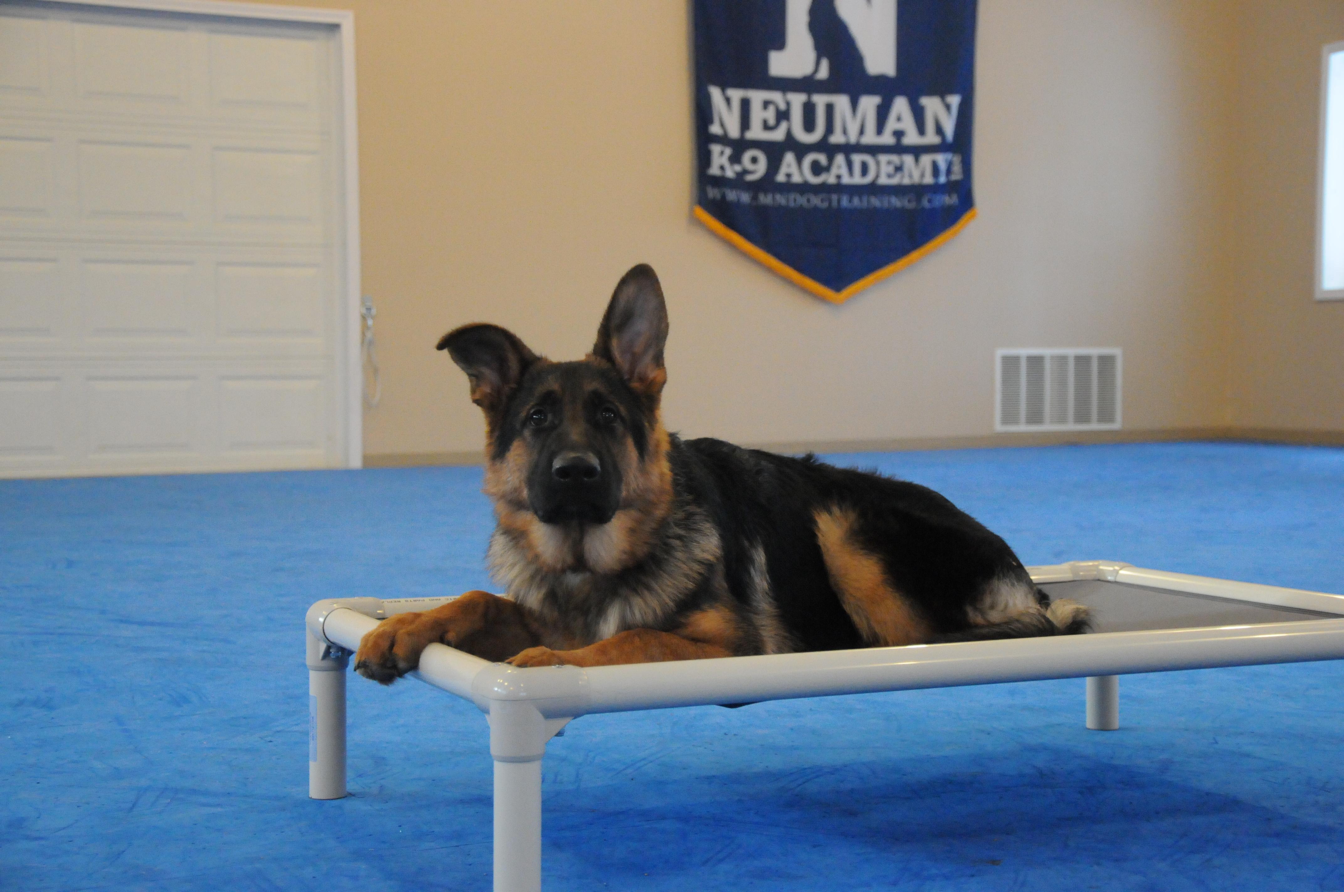 Lovie (German Shepherd) - Boot Camp Level II. Dog Training