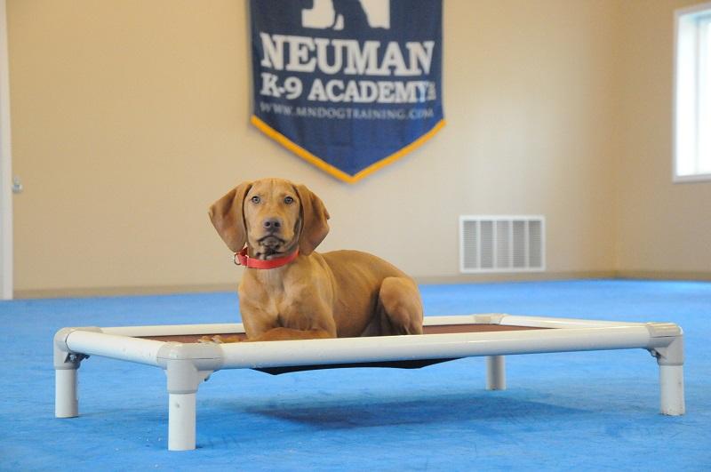 Lucy (Vizsla) - Boot Camp Dog Training