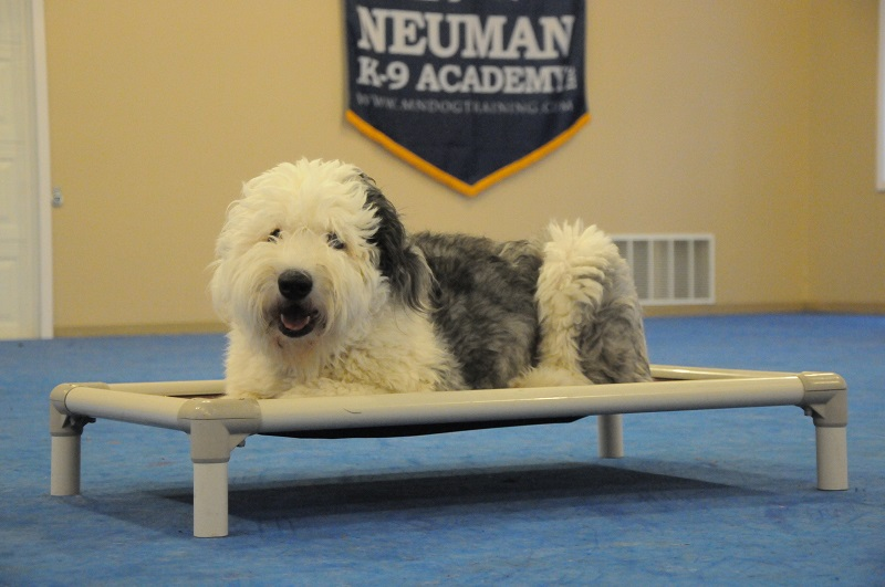 Lucy (Old English Sheepdog) - Boot Camp Dog Training