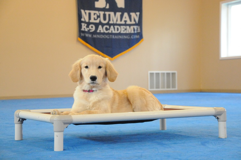 Mabel (Golden Retriever) - Boot Camp Dog Training