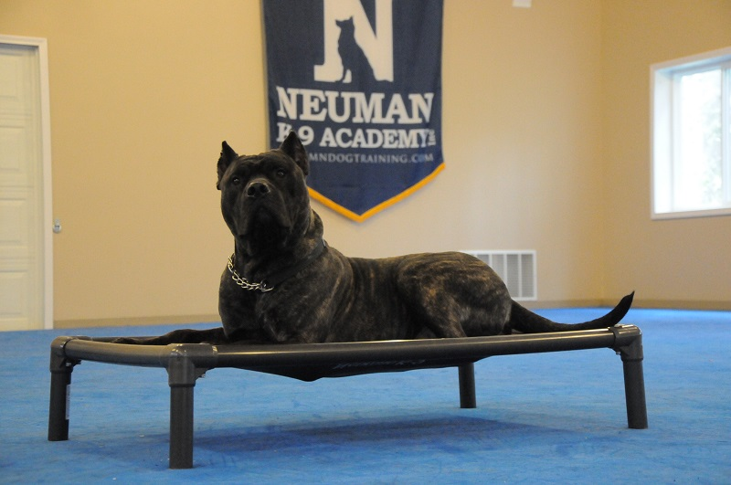 Mac (Presa Canario) - Boot Camp Dog Training