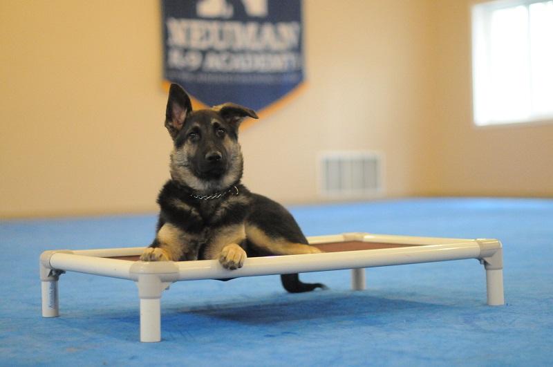 Mack (German Shepherd) - Boot Camp Level I. Dog Training