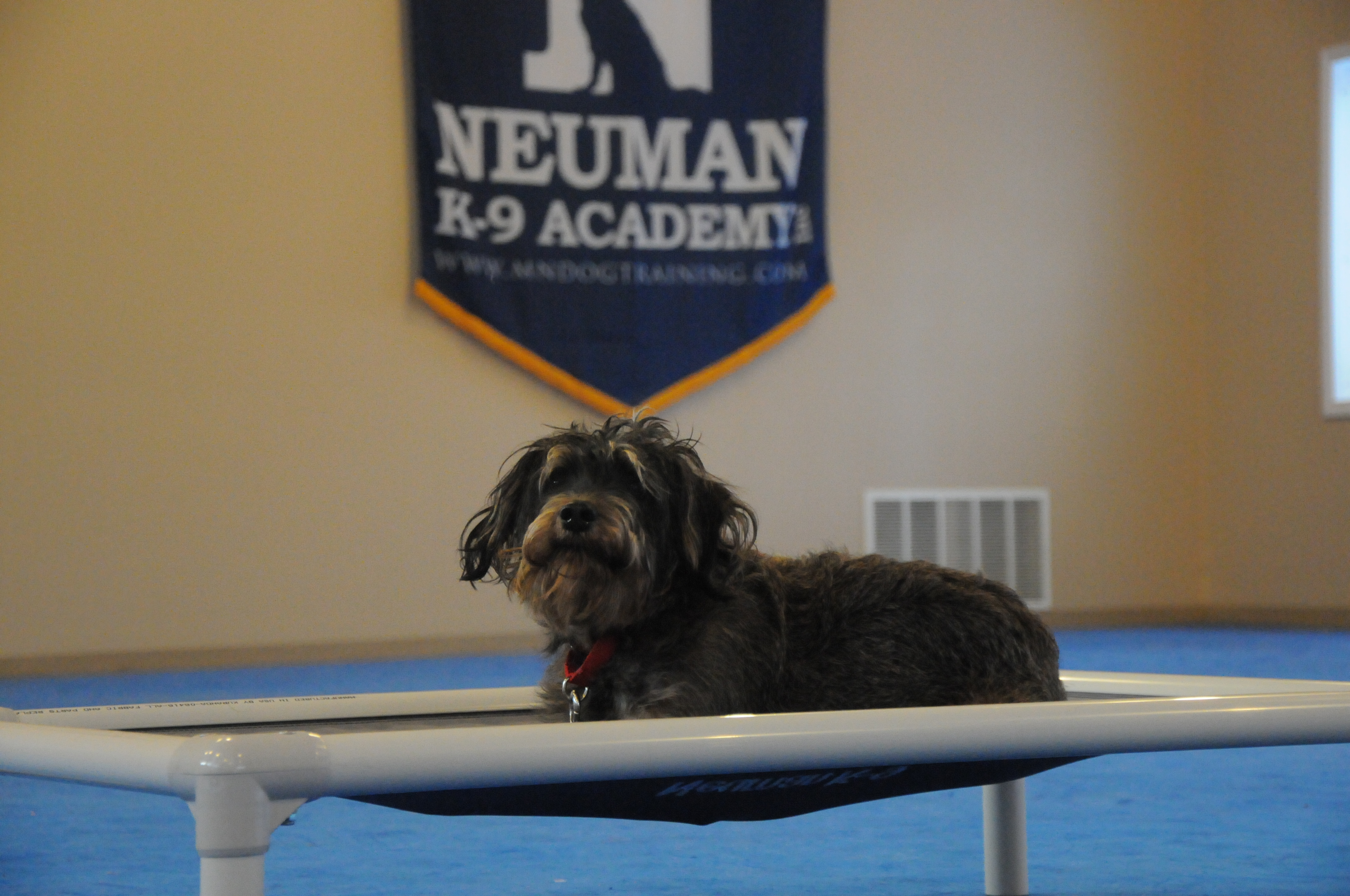 Max (Schnoodle) - Boot Camp Level II. Dog Training
