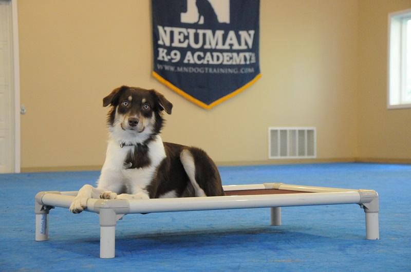 Mayzie (Australian Shepherd) - Boot Camp Dog Training