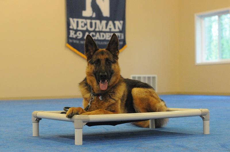 Mikey (German Shepherd Dog) - Boot Camp Level I. Dog Training