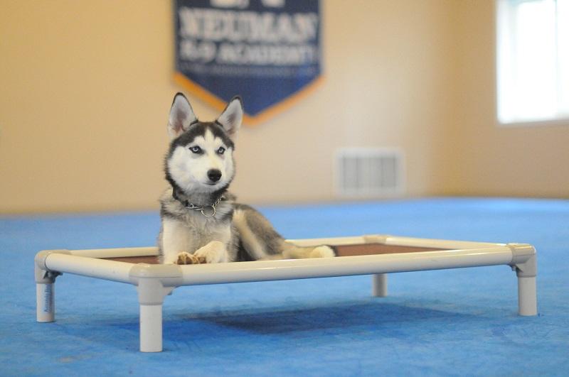 Mikka (Siberian Husky) - Puppy Camp Level I. Dog Training