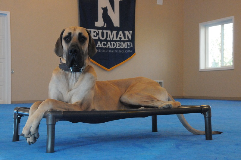 Miles (Great Dane) - Boot Camp Dog Training