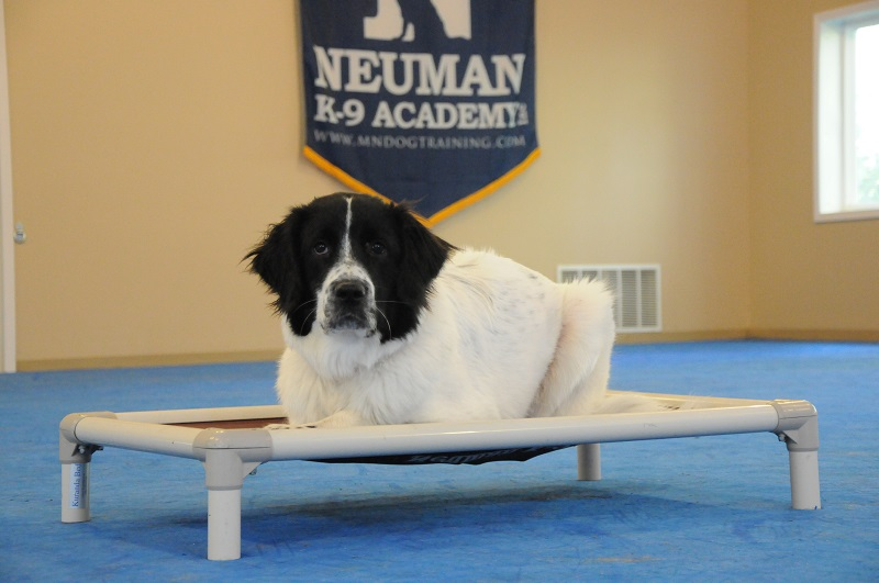 Molly (Great Pyrnees) - Boot Camp Dog Training