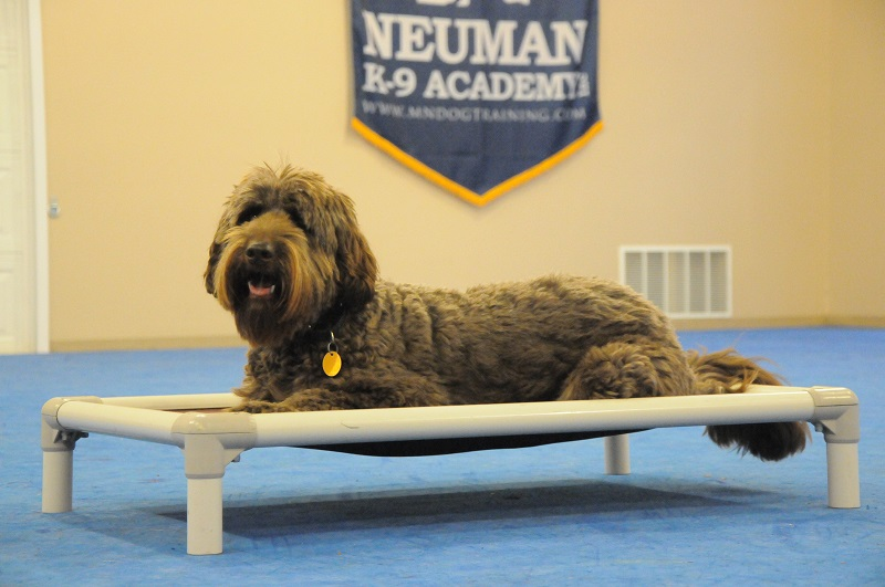 Murphy (Labradoodle) - Boot Camp Dog Training
