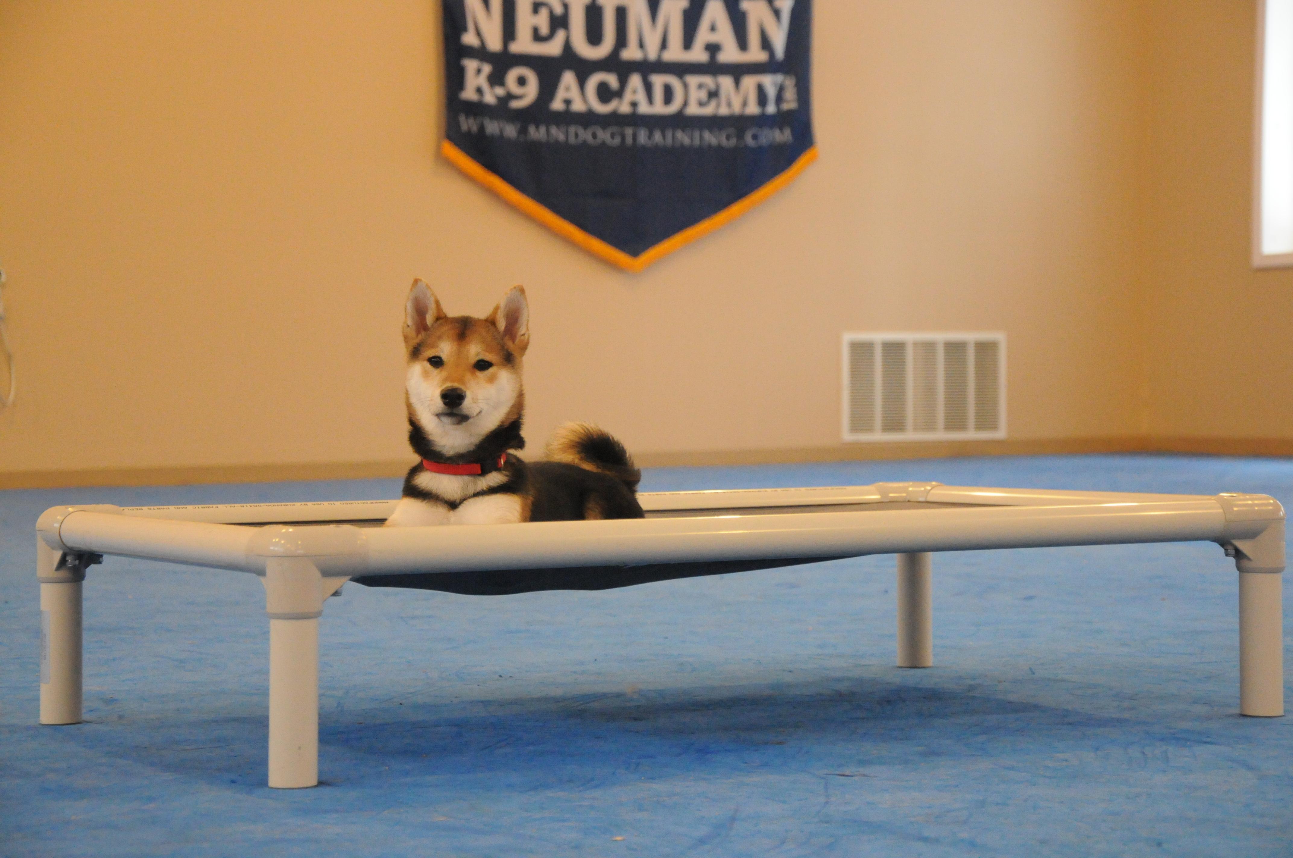 Myla (Shiba Inu) - Puppy Camp Level II. Dog Training