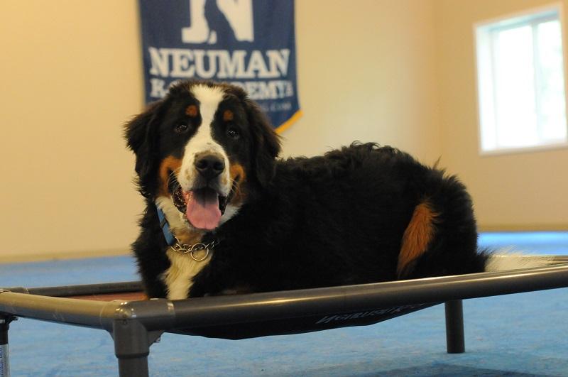 Obi (Bernese Mountain Dog) - Boot Camp Level III. Dog Training