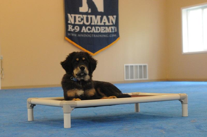 Odin (Tibetan Mastiff) - Puppy Camp Level I. Dog Training