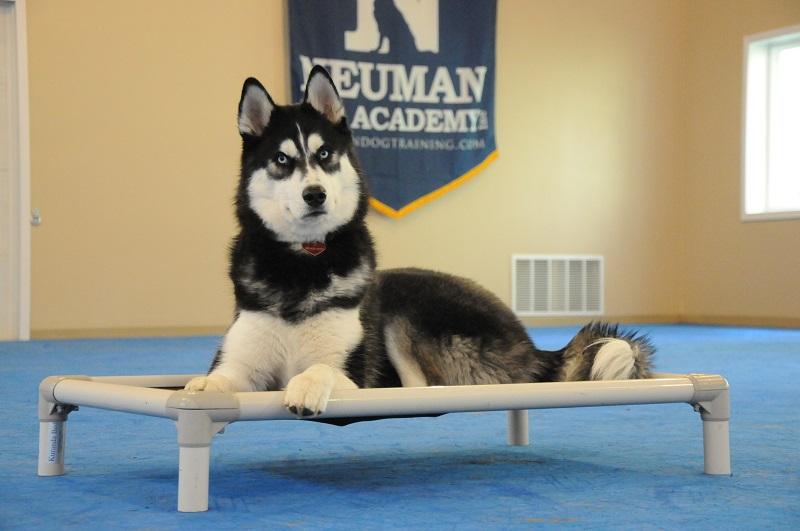 Paxson (Siberian Husky) - Boot Camp Dog Training