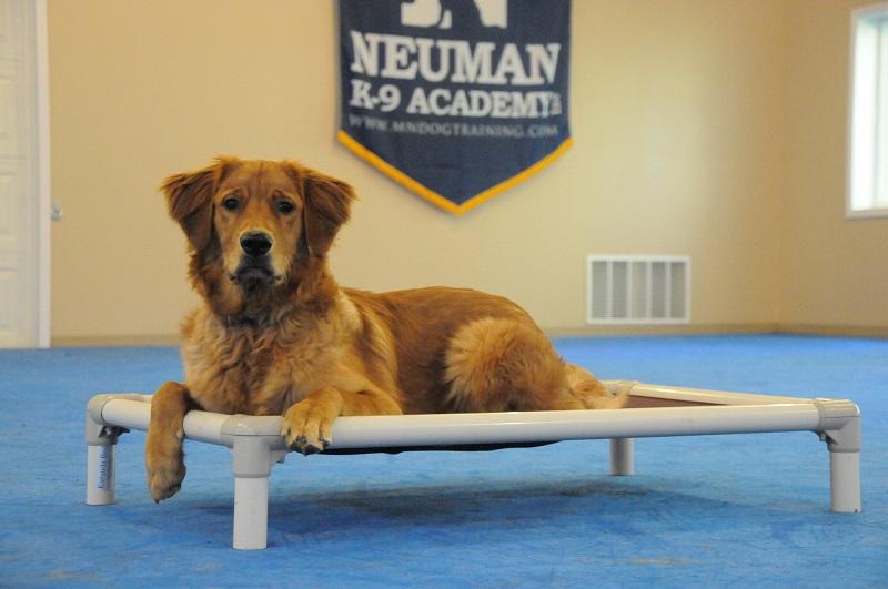 Rafe (Golden Retriever) - Boot Camp Dog Training