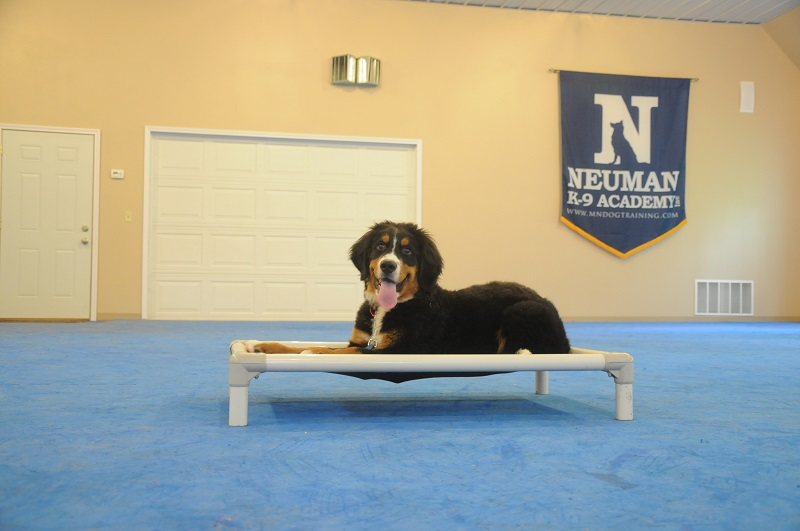 Red (Bernese Mountain Dog) - Puppy Camp Dog Training