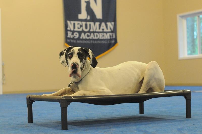 Rex (Great Dane) - Boot Camp Level II. Dog Training