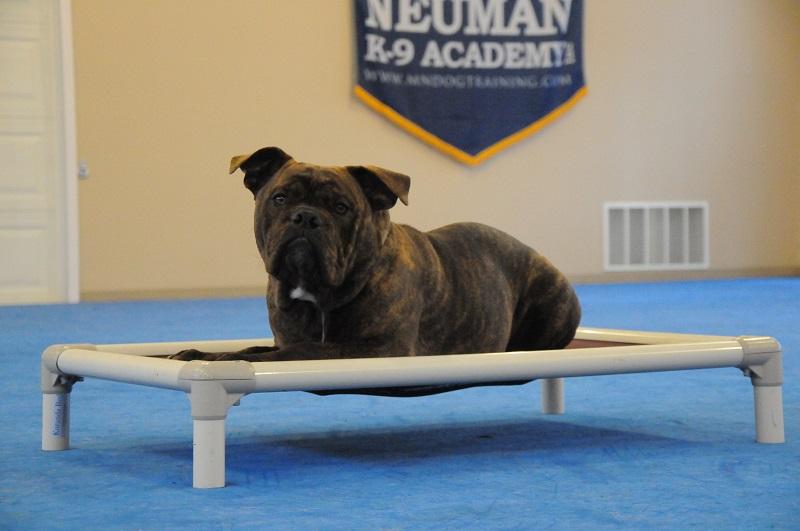 Ringo (Olde English Bulldogge) - Boot Camp Dog Training