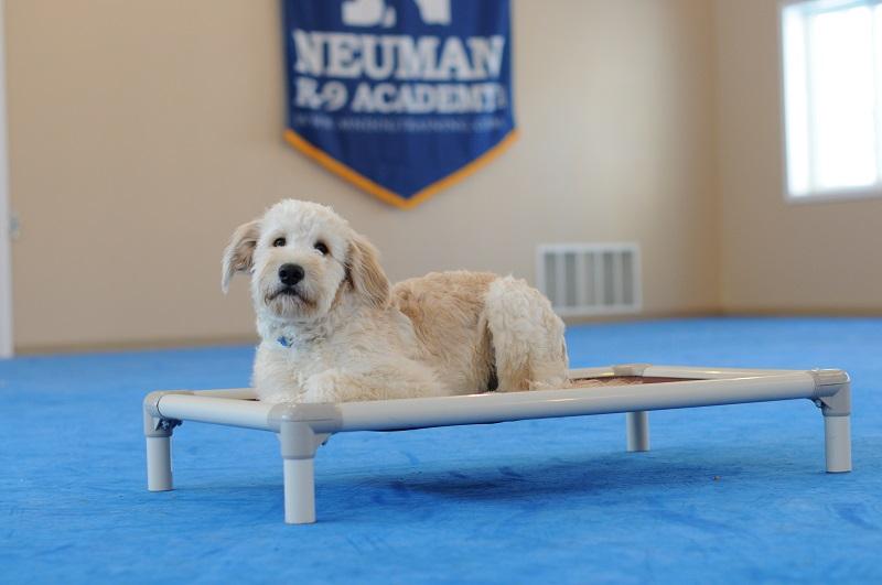Rumble (Goldendoodle) - Boot Camp Level I. Dog Training